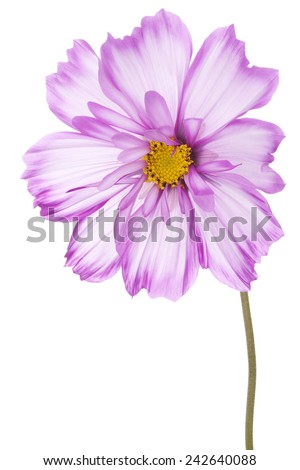 Studio Shot of Fuchsia and White Colored Cosmos Flower Isolated on White Background.