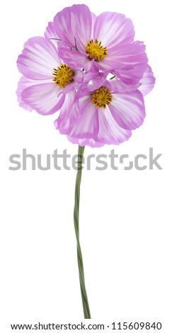 Studio Shot of Fuchsia and White Colored Cosmos Flowers Isolated on White Background. Large Depth of Field (DOF). Macro. - stock photo