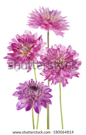 Studio Shot of Fuchsia Colored Dahlia Flowers Isolated on White Background. Large Depth of Field (DOF). Macro. Symbol of Elegance, Dignity and Good Taste. - stock photo