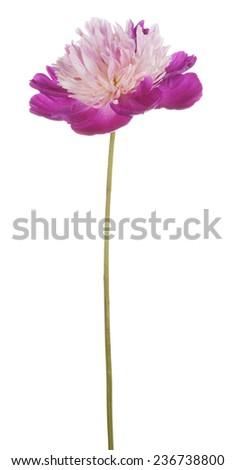 Studio Shot of Fuchsia Colored Peony Flower Isolated on White Background. Large Depth of Field (DOF). Macro. - stock photo