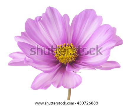 Studio Shot of Lilac Colored Cosmos Flower Isolated on White Background. Large Depth of Field (DOF). Macro.