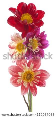 Studio Shot of Magenta and Red Colored Dahlia Flowers Isolated on White Background. Large Depth of Field (DOF). Macro. Symbol of Elegance, Dignity and Good Taste. - stock photo