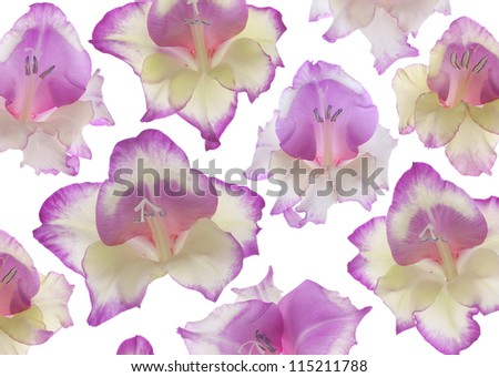 Studio Shot of Magenta and Yellow Colored Gladiolus Flowers Isolated on White Background. Large Depth of Field (DOF). Macro. Symbol of Reminisce, Love and Precision. - stock photo