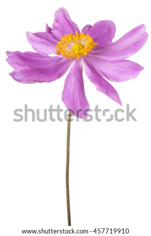 Studio Shot of Magenta Colored Anemone Flower Isolated on White Background. Large Depth of Field (DOF). Macro.