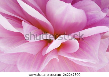 Studio Shot of Magenta Colored Dahlia Flowers Background. Macro. Symbol of Elegance, Dignity and Good Taste. - stock photo
