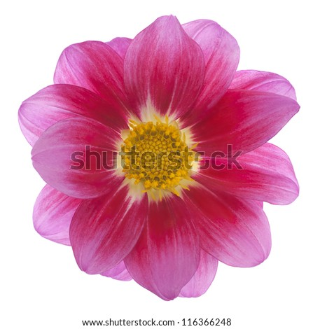 Studio Shot of Magenta Colored Dahlia Isolated on White Background. Large Depth of Field (DOF). Macro. Symbol of Elegance, Dignity and Good Taste. - stock photo