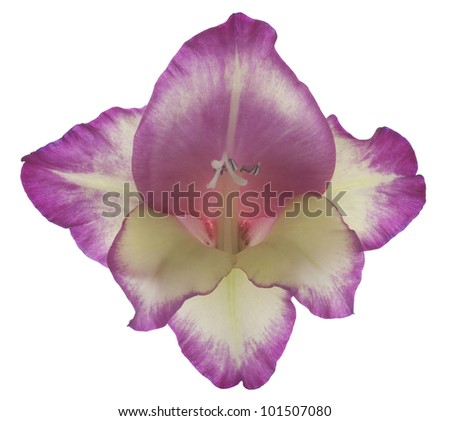 Studio Shot of Magenta Colored Gladiolus Isolated on White Background. Large Depth of Field (DOF). Macro. Symbol of Reminisce, Love and Precision. - stock photo
