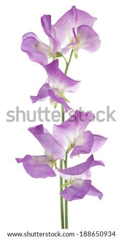 Studio Shot of Magenta Colored Sweet Pea Flowers Isolated on White Background. Large Depth of Field (DOF). Macro. - stock photo