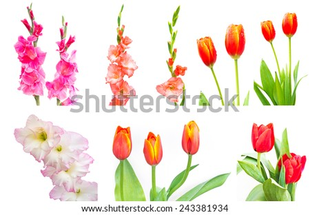 Studio Shot of mixed Colored Gladiolus and tulip flower Isolated on White Background - stock photo