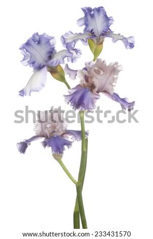 Studio Shot of Multicolored Iris Flowers Isolated on White Background. Large Depth of Field (DOF). Macro. Emblem of France. - stock photo