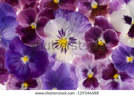 Studio Shot of Multicolored Pansy Flowers Background. Large Depth of Field (DOF). Macro.