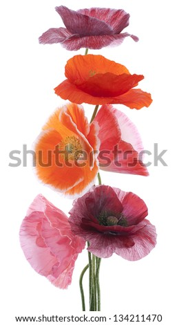 Studio Shot of Multicolored Poppy Flowers Isolated on White Background. Large Depth of Field (DOF). Macro. Symbol of Sleep, Oblivion and Imagination. - stock photo