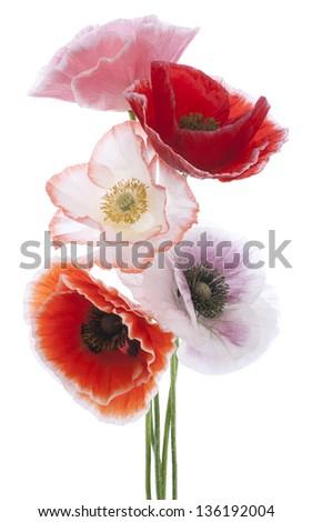 Studio Shot of Multicolored Poppy Flowers Isolated on White Background. Large Depth of Field (DOF). Macro. Symbol of Sleep, Oblivion and Imagination. - stock photo