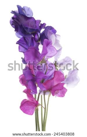 Studio Shot of  Multicolored Sweet Pea Flowers Isolated on White Background. Large Depth of Field (DOF). Macro. - stock photo
