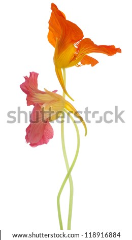 Studio Shot of Orange and Red Colored Nasturtium Flowers Isolated on White Background. Large Depth of Field (DOF). Macro. Symbol of Patriotism and Conquest. - stock photo