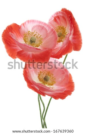 Studio Shot of Orange and Red Colored Poppy Flowers Isolated on White Background. Large Depth of Field (DOF). Macro. Symbol of Sleep, Oblivion and Imagination. - stock photo