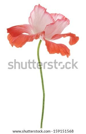 Studio Shot of Orange Colored Poppy Flower Isolated on White Background. Large Depth of Field (DOF). Macro. Symbol of Sleep, Oblivion and Imagination. - stock photo