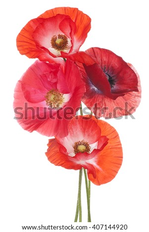 Studio Shot of Orange Colored Poppy Flowers Isolated on White Background. Large Depth of Field (DOF). Macro. Symbol of Sleep, Oblivion and Imagination.