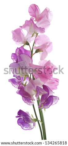 Studio Shot of Pink and Purple Colored Sweet Pea Flowers Isolated on White Background. Large Depth of Field (DOF). Macro. - stock photo