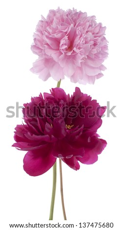 Studio Shot of Pink and Red Colored Peony Flowers Isolated on White Background. Large Depth of Field (DOF). Macro. - stock photo