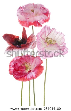 Studio Shot of Pink and Red Colored Poppy Flowers Isolated on White Background. Large Depth of Field (DOF). Macro. Symbol of Sleep, Oblivion and Imagination. - stock photo