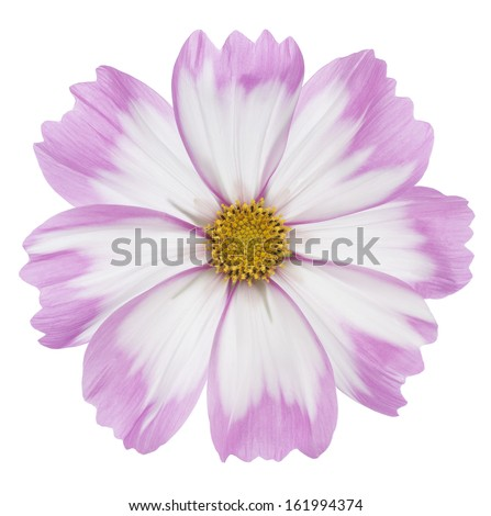 Studio Shot of Pink and White Colored Cosmos Flower Isolated on White Background. Large Depth of Field (DOF). Macro. - stock photo