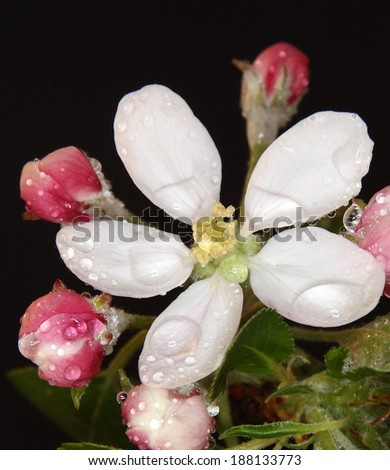 Studio shot of pink colored blossoming apple branch with water drops