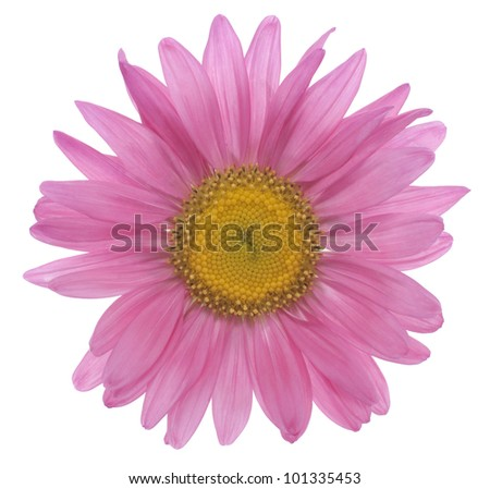 Studio Shot of Pink Colored China Aster Isolated on White Background. Large Depth of Field (DOF). Macro. Symbol of Jealousy.