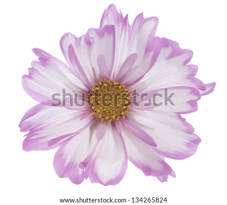 Studio Shot of Pink Colored Cosmos Flower Isolated on White Background. Large Depth of Field (DOF). Macro. - stock photo
