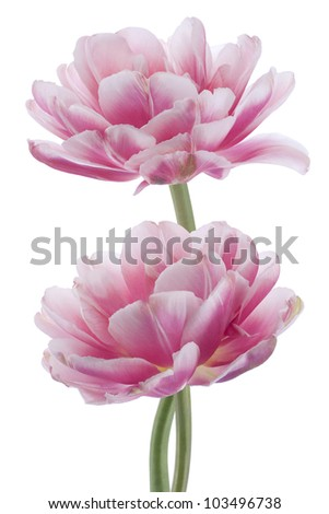 Studio Shot of Pink Colored Tulip Flowers Isolated on White Background. Large Depth of Field (DOF). Macro. National Flower of The Netherlands, Turkey and Hungary. - stock photo