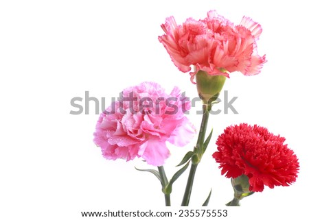 Studio Shot of Pink flower on a white background.