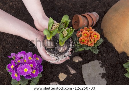 Studio shot of planitng hyacinth flowers in flower soil, flowerbed with primroses, hyacinths and decoration.