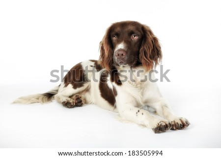 Studio shot of purebred english springer spaniel dog. - stock photo