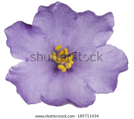 Studio Shot of Purple Colored African Violet Flower Isolated on White Background. Large Depth of Field (DOF). Macro.