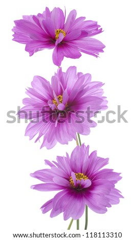 Studio Shot of Purple Colored Cosmos Flowers Isolated on White Background. Large Depth of Field (DOF). Macro. - stock photo