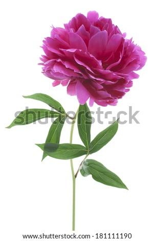 Studio Shot of Purple Colored Peony Flower Isolated on White Background. Large Depth of Field (DOF). Macro. - stock photo