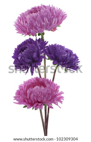 Studio Shot of Red and Blue Colored China Aster  Flowers Isolated on White Background. Large Depth of Field (DOF). Macro. Symbol of Jealousy. - stock photo