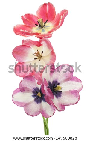Studio Shot of Red and Magenta Colored Tulip Flowers Isolated on White Background. Large Depth of Field (DOF). Macro. National Flower of The Netherlands, Turkey and Hungary. - stock photo
