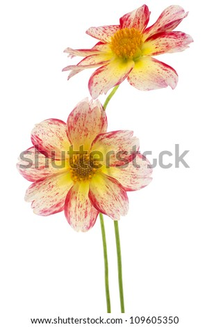 Studio Shot of Red and Yellow Colored Dahlia Flowers Isolated on White Background. Large Depth of Field (DOF). Macro. Symbol of Elegance, Dignity and Good Taste.
