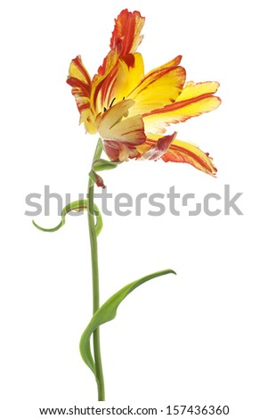 Studio Shot of Red and Yellow Colored Tulip Flower Isolated on White Background. Large Depth of Field (DOF). Macro. National Flower of The Netherlands, Turkey and Hungary. - stock photo