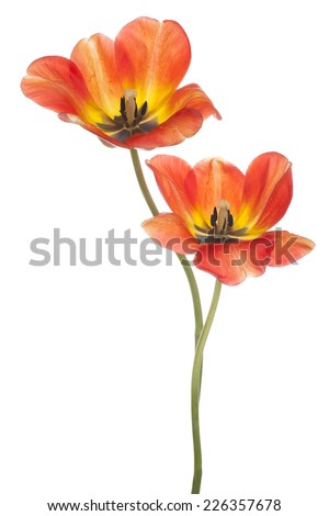 Studio Shot of Red and Yellow Colored Tulip Flowers Isolated on White Background. Large Depth of Field (DOF). Macro. National Flower of The Netherlands, Turkey and Hungary. - stock photo