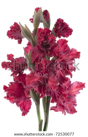 Studio Shot of Red Colored Gladiolus Isolated on White Background. Large Depth of Field (DOF). Macro. Symbol of Reminisce, Love and Precision. - stock photo