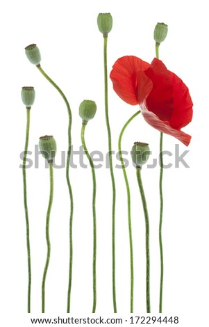 Studio Shot of Red Colored Poppy Flower Isolated on White Background. Large Depth of Field (DOF). Macro. Symbol of Sleep, Oblivion and Imagination. - stock photo