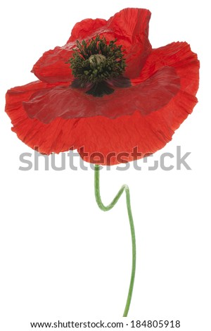 Studio Shot of Red Colored Poppy Flower Isolated on White Background. Large Depth of Field (DOF). Macro. Symbol of Sleep, Oblivion and Imagination.