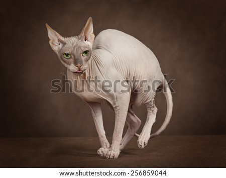 Studio shot of the cat of Don Sphinx breed - stock photo