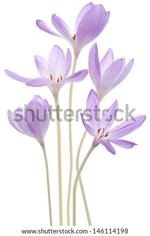 Studio Shot of Violet Colored Colchicum Flowers Isolated on White Background. Large Depth of Field (DOF). Macro. - stock photo