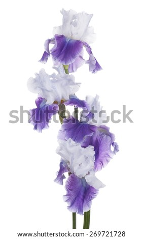Studio Shot of Violet Colored Iris Flowers Isolated on White Background. Large Depth of Field (DOF). Macro. Symbol of Trust and Wisdom. Emblem of France. - stock photo