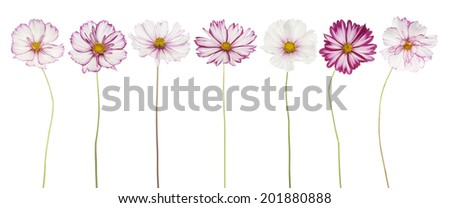 Studio Shot of White and Fuchsia Colored Cosmos Flowers Isolated on White Background. Large Depth of Field (DOF). Macro. - stock photo