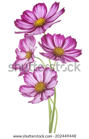 Studio Shot of White and Fuchsia Colored Cosmos Flowers Isolated on White Background. Large Depth of Field (DOF). Macro.