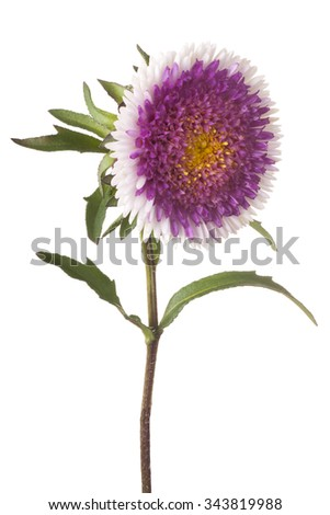 Studio Shot of  White and Magenta Colored China Aster Flower Isolated on White Background. Large Depth of Field (DOF). Macro.